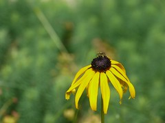 Polinating (andrickthistlebottom) Tags: flower insect blackeyedsusan lumixdmcgh1