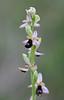 Balearic Orchid (Ophrys balearica) (Tiggrx) Tags: wild flower bee orchidaceae menorca minorca balearicislands balearics ophrysbalearica calagaladana balearicorchid