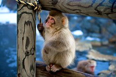 Snow Monkey Playing II (Crouching Donkey) Tags: nagano japanesemacaque snowmonkeys  macacafuscata jigokudanimonkeypark canonefs55250mmf456is