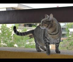 Happy Ximena Thursday: Floating tail (LinoPhilippe) Tags: chile santiago cats cat nikon kitten feline chat kitty gatos gato felino katze nikkor gatto katzen kot matou chatte chaton  d60  hauskatze  felidi bestofcats 1855mmf3556gvr