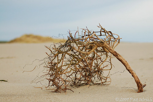 Beach tumbleweed ... or .... Branching out