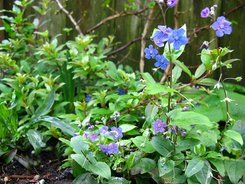 Omphalodes cappodocica