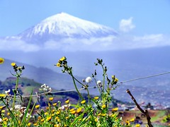 Tenerife - Islas Canarias (pacoveratf) Tags: heritage canarias tenerife montaa teide calndula worldheritage volcanes volcan maravilla vid dientedelen patrimoniohumanidad picoteide goldstaraward 100commentgroup oltusfotos ph900