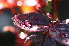 Rosey (mamacroft) Tags: macro march waterdroplets deeppurple newleaves naturesfinest watered notreatment