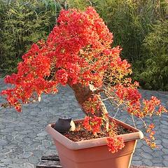 22_350 (Rock Jnior - Terra Bonsai) Tags: primavera bougainvillea bonsai