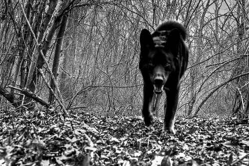 Rare New Jersey Black Wolf (nosha) Tags: winter bw usa nature beautiful beauty landscape march newjersey nikon outdoor walk 28mm nj hike mercer trail f80 pm hopewell 2009 mercercounty lightroom d300 wolfdog blackmagic nosha hopewelltownship 29mmf28 nikond300 iambeingfacetioushereitisonlymydogbeau