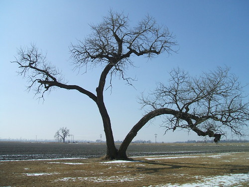 Populus deltoides, the Cottonwood, Nebraska