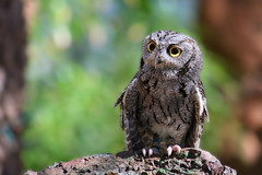 Who Are You? (jhaskellus) Tags: arizona bird superior arboretum owl thompson barnowl boyce boycethompsonarboretum bta boycethompson jhaskellus jhaskell jackhaskell