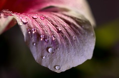 Tears of an angel ( Spice (^_^)) Tags: pink light shadow plants white flower color