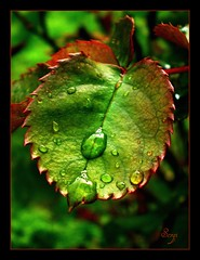 Green after rain (sevgi_durmaz) Tags: green nature beauty leaves rain leaf drops soe afterrain beautifulnature bej impressedbeauty magicofaworldinmacro macrolife
