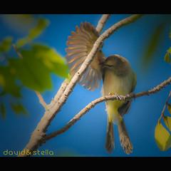 Grooming (1davidstella) Tags: blue bird yellow wings wmp birdwatcher bulbul smallbird supershot imagepoetry anawesomeshot avianexcellence theunforgettablepictures theunforgettablepicture clickca