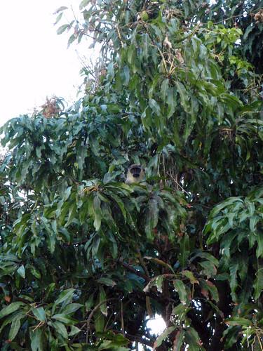 mangomonkey