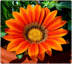 Gazania ( Rizwan Mithawala) Tags: flower macro flora fantasy gazania abigfave hiddentreasuregroup flickraward