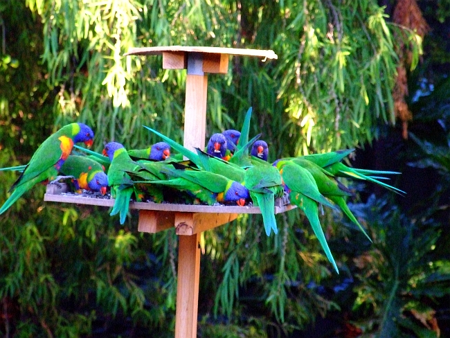 many more lorikeets
