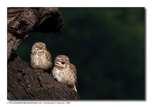 Spotted Owlets pair, Bharatpur