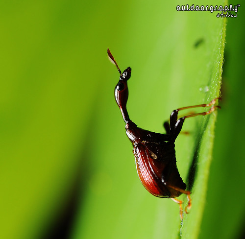 Outdoorgraphy™: Giraffe Weevil