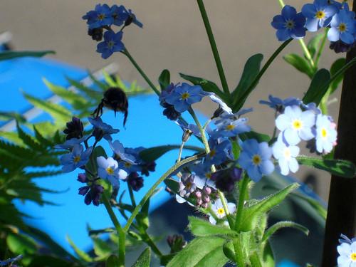 Biene im Anflug auf Vergissmeinnicht