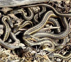 Count the snakes (EcoSnake) Tags: spring idaho boise mating snakes reptiles herps gartersnakes thamnophiselegansvagrans westernwanderinggartersnakes boiserivergreenbelt