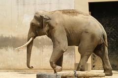 Indian Elephant @ Kobe City Oji Zoo (Hyougushi) Tags: elephant animal japan mammal zoo kobe  hyogo   indianelephant     kobecityojizoo