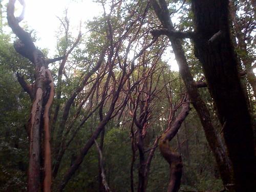 dean trail, huddart park - madrones