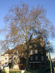 Esdoornbladige plataan, Schaarbeek (Erf-goed.be) Tags: geotagged boom schaarbeek plataan platanusxhispanica archeonet poggeplein esdoornbladigeplataan geo:lon=43755 geo:lat=508665