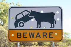 Beware of Cows
