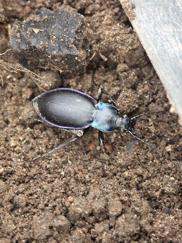 beetle in the garden