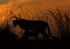 Sunset (scandihooligan) Tags: cheetah cub sunset masaimara flickrbigcats
