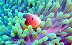 Skunk clownfish, Thailand