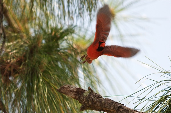 cardinal_flying_0115