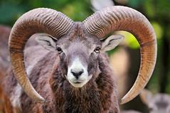 [フリー画像] [動物写真] [哺乳類] [羊/ヒツジ]        [フリー素材]