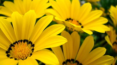 DSC03794 (leelikesphotography) Tags: life flowers sun flower color sunshine photography pretty sony flowerphotography flowerpicturesnolimits