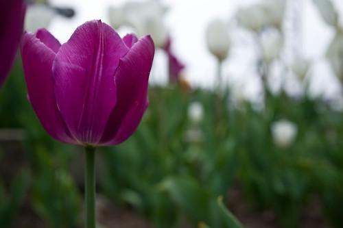 purp-etual tulip