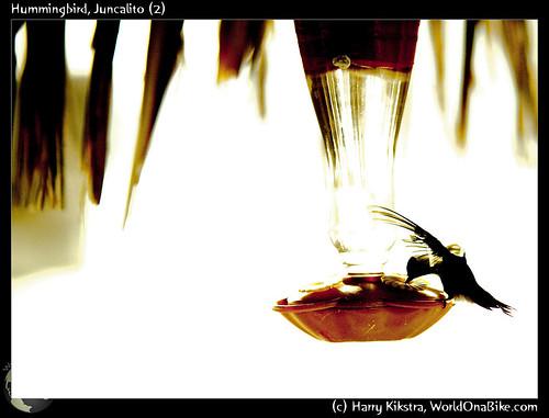 Hummingbird, Juncalito (2)