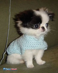 cute_dog_sweater (ashleyjuliette22) Tags: cute puppy bigeyes pup dogsweater dogclothes japanesechin toybreed