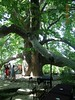 600 years tree - Bursa
