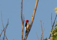 Red Headed Woodpecker (JMaryDarling) Tags: red woodpecker headed