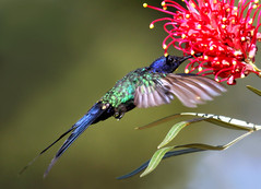 Beija-flor-tesoura, Swallow-tailed Hummingbird (Eupetomena macroura) (claudio.marcio2) Tags: bird nature searchthebest wildlife natureza pssaro aves inspire birdwatching soe shiningstar oiseaux birdwatcher wonderfulnature supershot birdsbirdsbirds flickrnature wingedwonders natureplus mywinners shieldofexcellence anawesomeshot impressedbeauty ultimateshot nationalgeographicareyougoodenough avianexcellence excellenceinavianphotography photosandcalendar citritgroup prettynaturephotos theunforgettablepictures naturewatcher concordians theworldsbestnaturewildlifeandmacrophotography betterthangood everydayissunday theperfectphotographer avianphotograph natureislovely goldstaraward spiritofphotography atravsdaminhalentethroughmylens feathersbeaksbirds worldnaturewildlifecloseup photographersgonewild vosplusbellesphotos thewonderfulworldofbirds naturescreations ~newenvyofflickr~ dragonflyawardsgroup naturegreestar