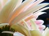 gerbera tanti petali