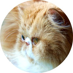 Toby (iwork4toby) Tags: red pet cat persian midwest persiancat redpersian velvetpaws luv2explore
