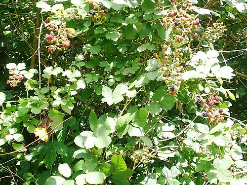 Blackberry Bush at Neckar