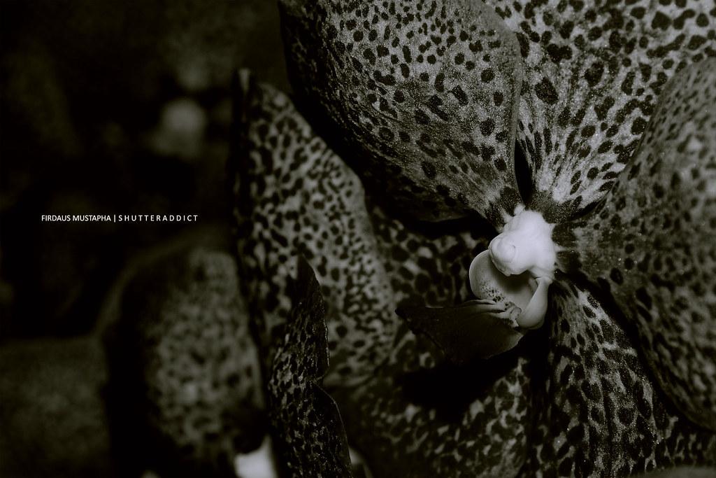 orkid-lah5