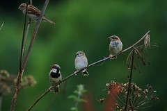A Local Branch Meeting (Chris*Bolton) Tags: nature birds branch searchthebest perch sparrows avian birdwatcher blueribbonwinner supershot featheryfriday rathdrum bej golddragon abigfave platinumphoto anawesomeshot impressedbeauty diamondclassphotographer citrit theunforgettablepictures naturewatcher goldstaraward natureselegantshots