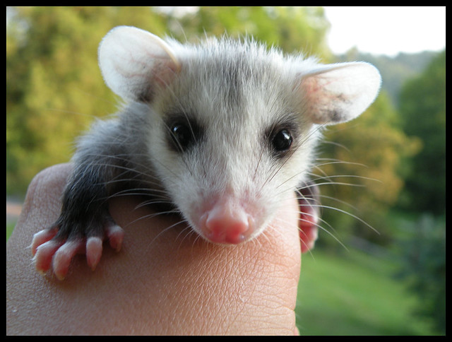 I'm still at the CPS (Cute Possum Stage). Just give me a month until it's ankle-biting Central