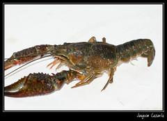 ... Y a la derecha... (joaquim_cazorla) Tags: espaa spain animales almeria alpujarra cangrejoderio crustaceos k10d pentaxk10d
