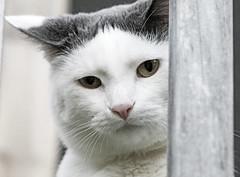 Vinnie (kodachromedreams' photographs) Tags: cats macro cat zoom kitties cutecats whitecats greycats greyandwhitecats outdoorcats