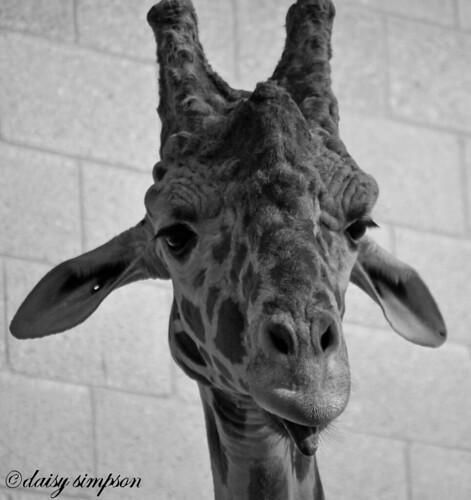 giraffe head B&W