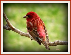 Purple Finch (clickclique) Tags: red bird spring branch finch purplefinch colorphotoaward ourcanadamagazinecommunity