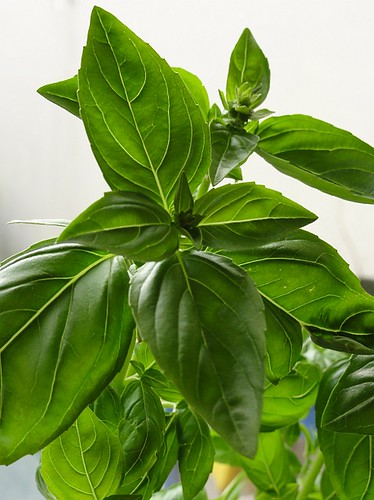 Basil Plant Leaves