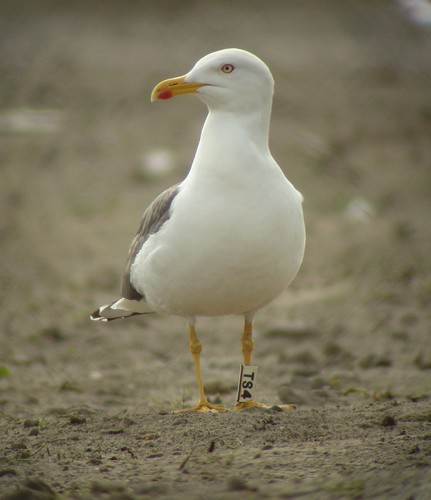Kleine mantelmeeuw / Lesser black-backed gull / Larus graellsii adult